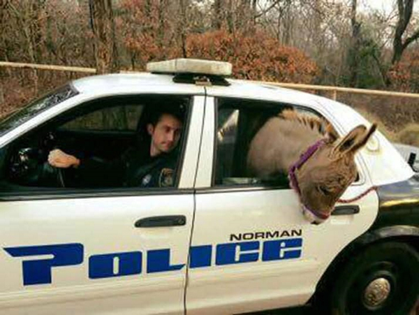 Donkey in a police car