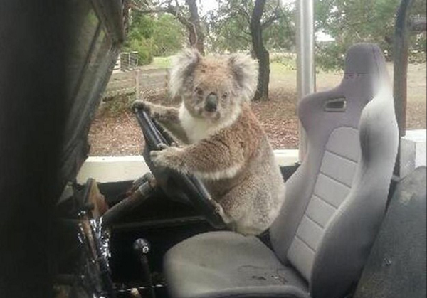 Koala in a Land Rover