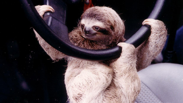 Sloth in a Toyota car